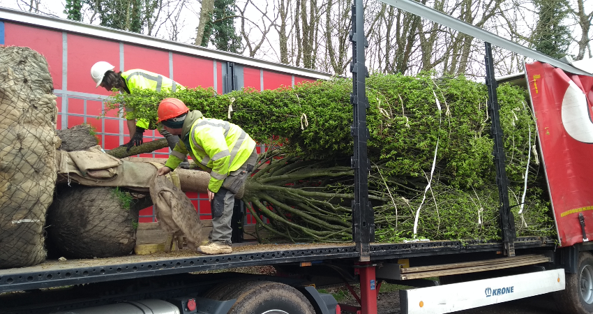 New trees arriving to site, delivered on an articulated lorry