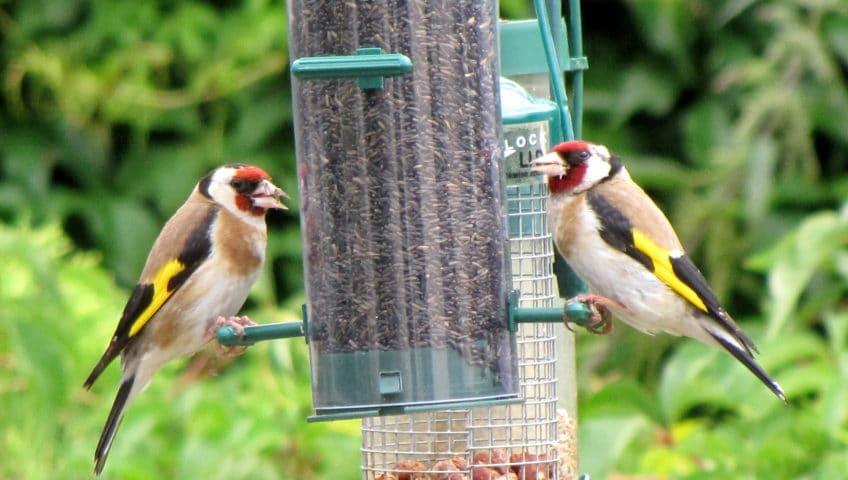 Goldfinches feeding at a bird feeder