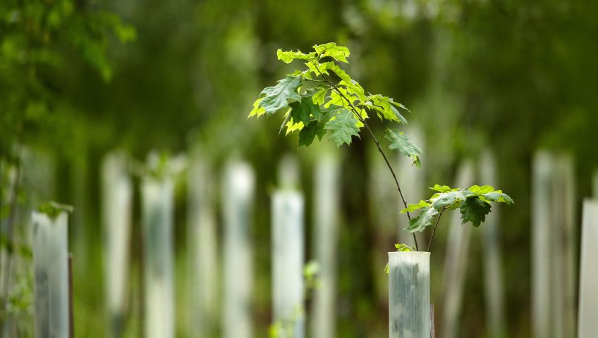 Young oak tree in a planting tube