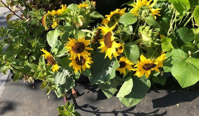 Beautiful sunflowers in a pot